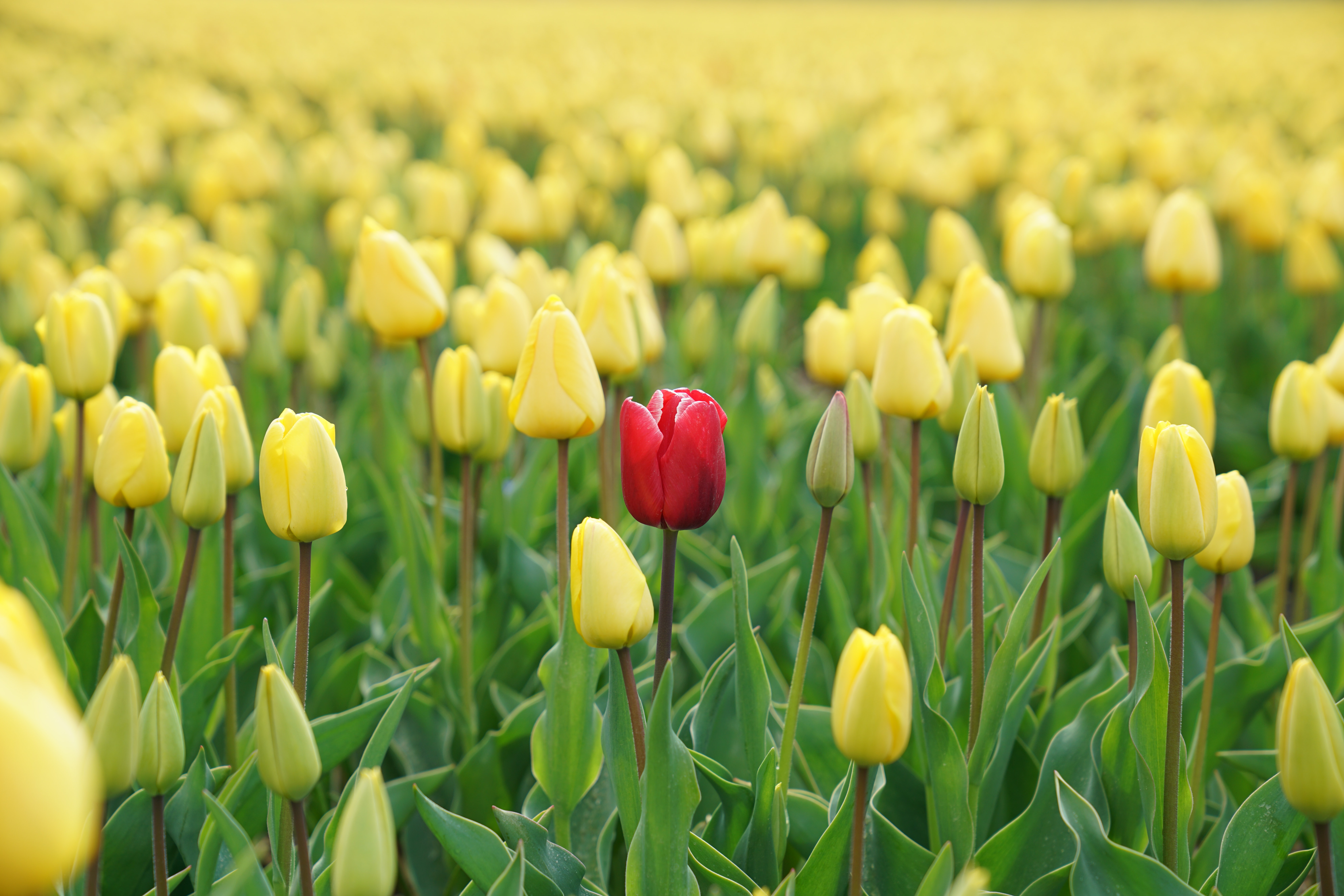 One red tulip in a field of yellow tulips